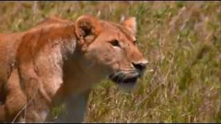 Muhteşem Avcılar   Belgesel Doğa, Hayvan Aslan Kaplan