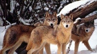 Soğuk Havadaki Hayvanlar - Türkçe Dublaj Belgesel